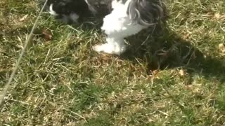 White dog with black spots rolling around grass