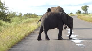 Elephant swiping the road