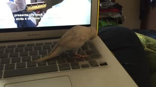 AWW! Little bird tries to lift keyboard cover but fails. - Video