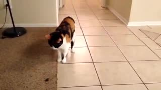 Cat loves to play fetch with owner