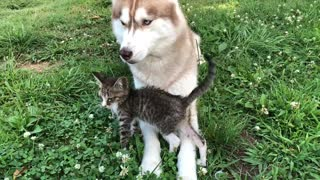 Abandoned kitten befriends gentle husky