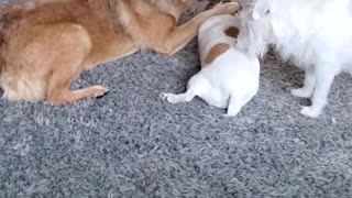 Cute playful doggy pack