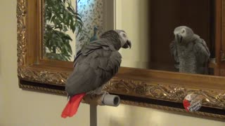 Talking parrot has full blown conversation with reflection