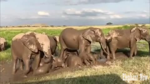 Group Elephants Play in The Mud