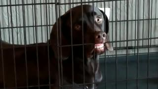 Dog face stuck on kennel - Video