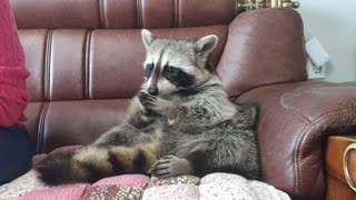 Smart Raccoon eats persimmons, spits out seeds and delivers them to his mother