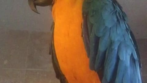 Hillerious macaw signing and dancing
