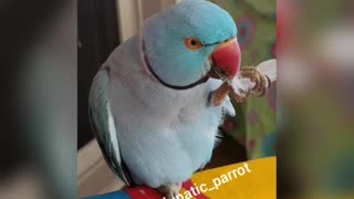 Just a little Parrot and his feather  - Video
