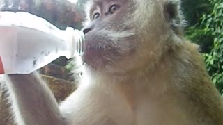 Macaque monkey asks for water  - Video