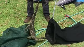 Big Lace Monitor Lizard Caught After Stealing Eggs