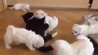 fighting, playing dogs and a cat - Video