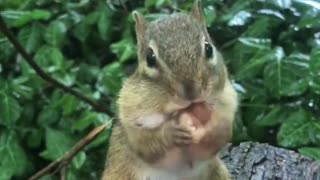 Chipmunk Loves His Cup Of Hazelnuts