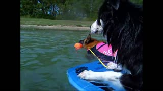 Malinois pulls Border Collie on a swimmingboard - Video