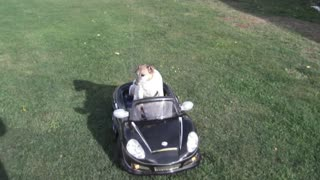 Small Dog Has Midlife Crisis With New Power Wheels Car - Video