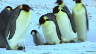41 Seconds of Penguins - Video