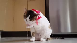 Video Of Funny Cat animal cat cute domestic feline funny kitty licking paw pet tabby