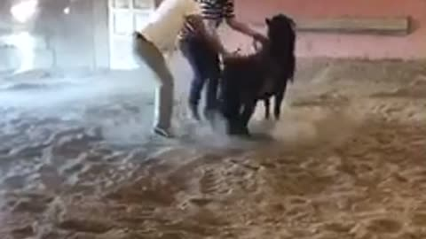 Two guys try to get on small mini horse get kicked in balls