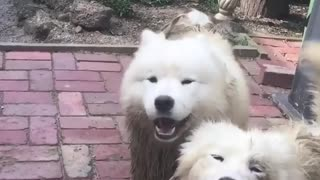 All white dog gets extremely muddy - Video
