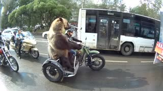 Adventurous Bear Rides Motorcycle, And It's So Much Fun