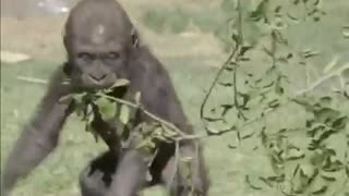 happy dancing monkey - Video