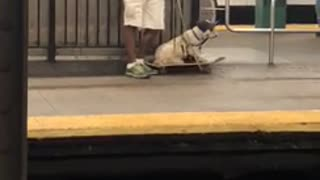 White dog laying down on top of skateboard subway station - Video
