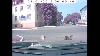 Psychic Dog Warns Driver About A Future Collision  - Video