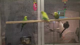 Parrots Turn Perch into Swing - Video