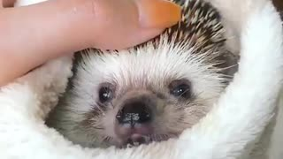 hedgehog after shower in his tawel