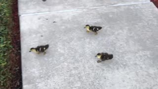 Ducklings scurrying to catch their mother