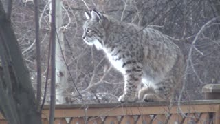 Backyard Bobcat Encounter - Video
