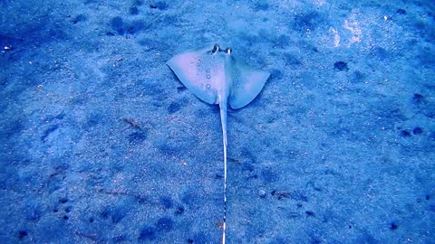 Blue spotted stingray On the seabed 1- man & camera