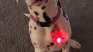 Dalmatian with red heart collar
