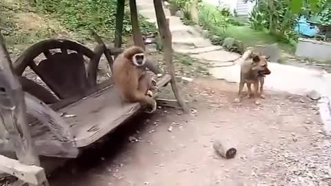 Monkey teasing to a dog with antics