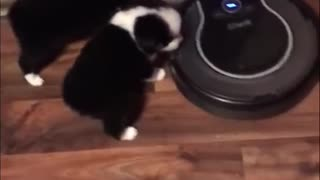 Litter of puppies fearlessly explore and ride robot vacuum