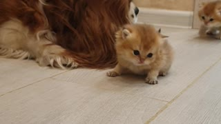 Cavalier King Charles Spaniel Looks After Kittens