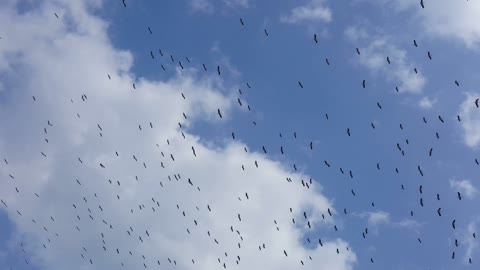 Herd Of Birds Wing In Sky Morning Invasion