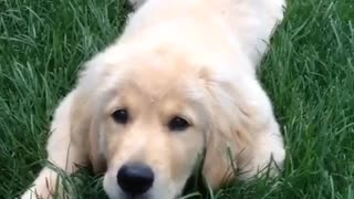 White labrador puppy jumps at camera on grass