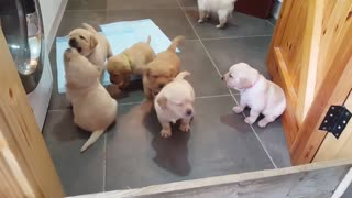 Cachorros de Golden Labrador nos llenan de ternura - Video