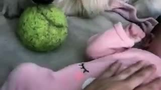 Dog tries comforting crying baby by giving her his tennis ball