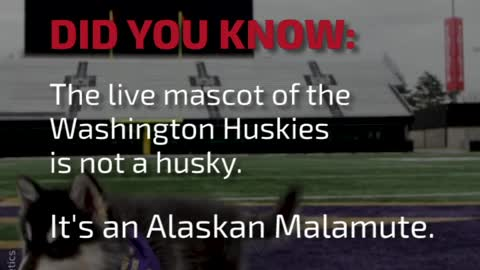DYK: The Live Mascot of the Washington Huskies Is...