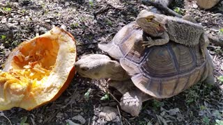 Lizard rides atop food-crazed tortoise