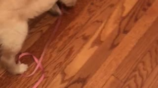 Golden Retriever Puppy Doesn't need Help with food!  - Video