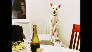 Dog can't stop jumping to see what's for dinner