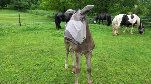 Adorable foal in adult horse fly mask