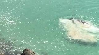 Awesome Rescue of Beached Whale - Video