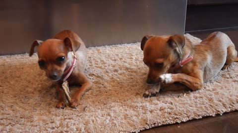Sister Chihuahuas chewing fish skin (can you hear the fart at the end?)