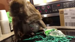 Monkey Opens Fan Mail - Video