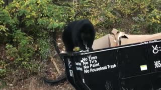 Big Bear Dines While Balancing on Dumpster