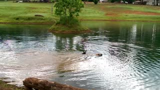Puppies Abby and Bobo Playing Fetch in the Pond