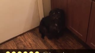 Black dog in corner sounds crying barking noises - Video